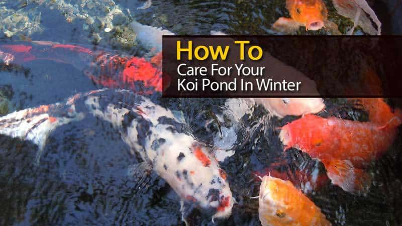 How To Care For Your Koi Pond In Winter Video