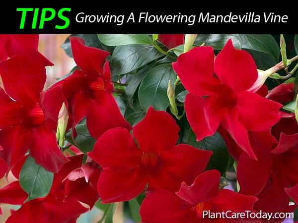 mandevilla vine plant