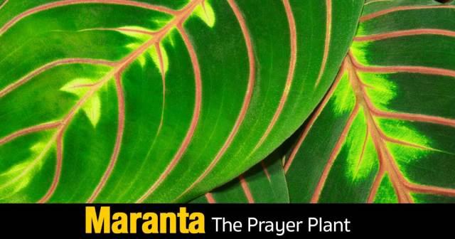maranta-prayer-plant-10312015