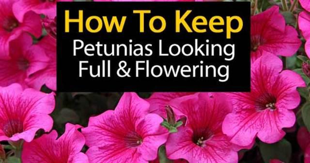 petunias-looking-good-07312016