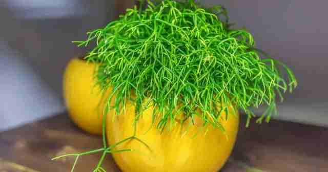 Rhipsalis cactus plant Mistletoe