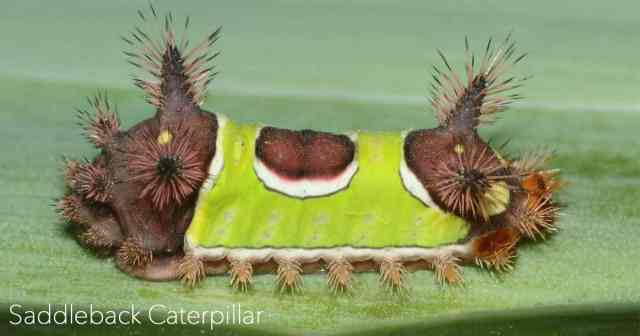 Saddleback Caterpillar crawling on leaf In the Garden