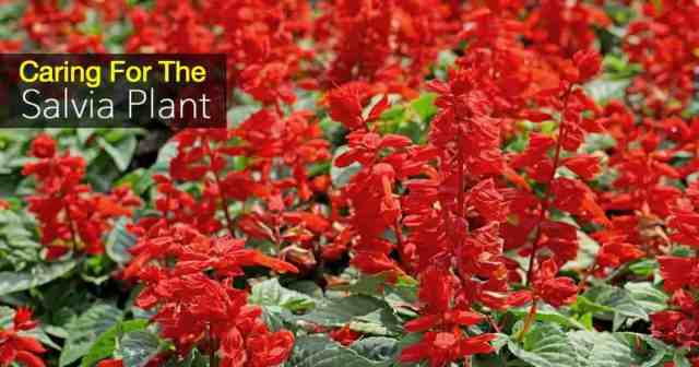 perennial salvia plant easy to grow a hummingbird favorite