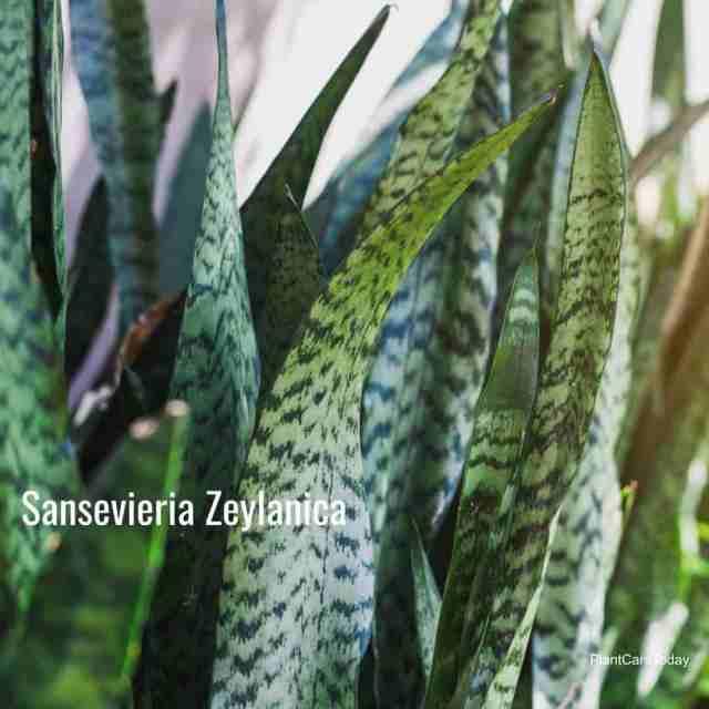 sansevieria zeylanica one of the popular snake plant varieties