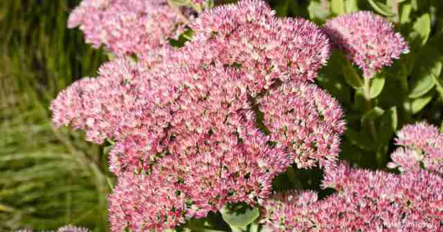 Blooming Sedum Matrona Tail Stonecrop