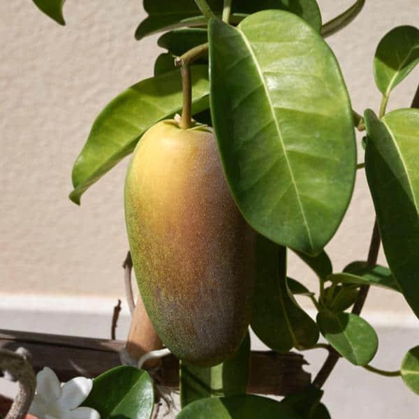 Seed pod of the Bridal Veil Plant - Stephanotis