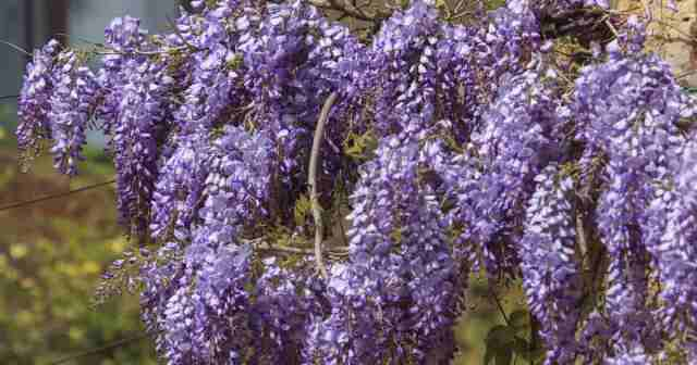 growing wisteria vine with its full glory racemes of flowers