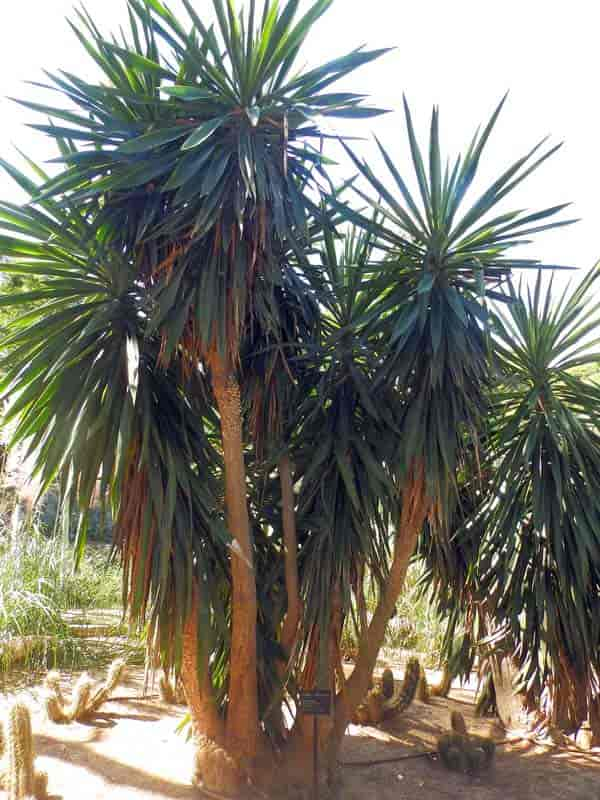 How To Kill A Yucca Plant