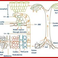 Plant Root Hair Diagram Ford Ka Wiring Absorption Of Water