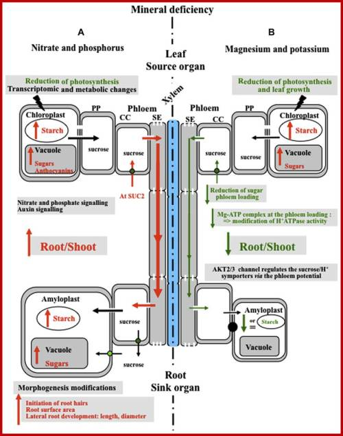 small resolution of model of the plant s responses to mineral nutrient deficiency a response to nitrate and phosphorus deficiency deficiency in nitrogen and phosphorus