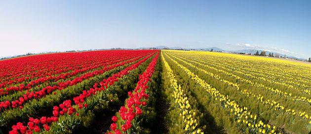 640px-Skagit_Valley_Tulip_Festival_(2)