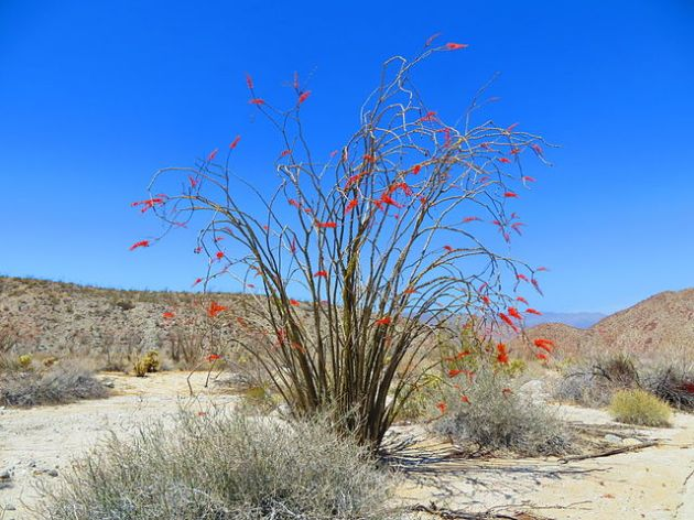 Ocotillos in the desert