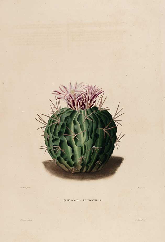Echinocactus pentacanthus