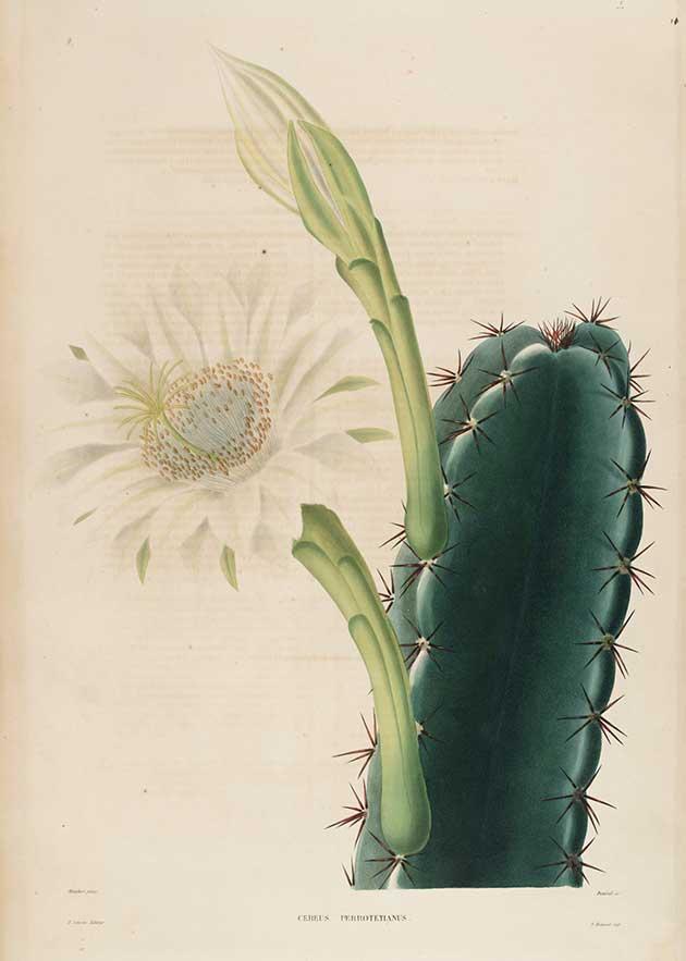 Cereus perrotetianus