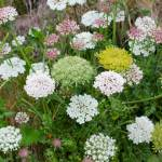 Sea carrot (Daucus carota ssp gummifer)