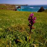 Early purple orchid (Orchid mascula)