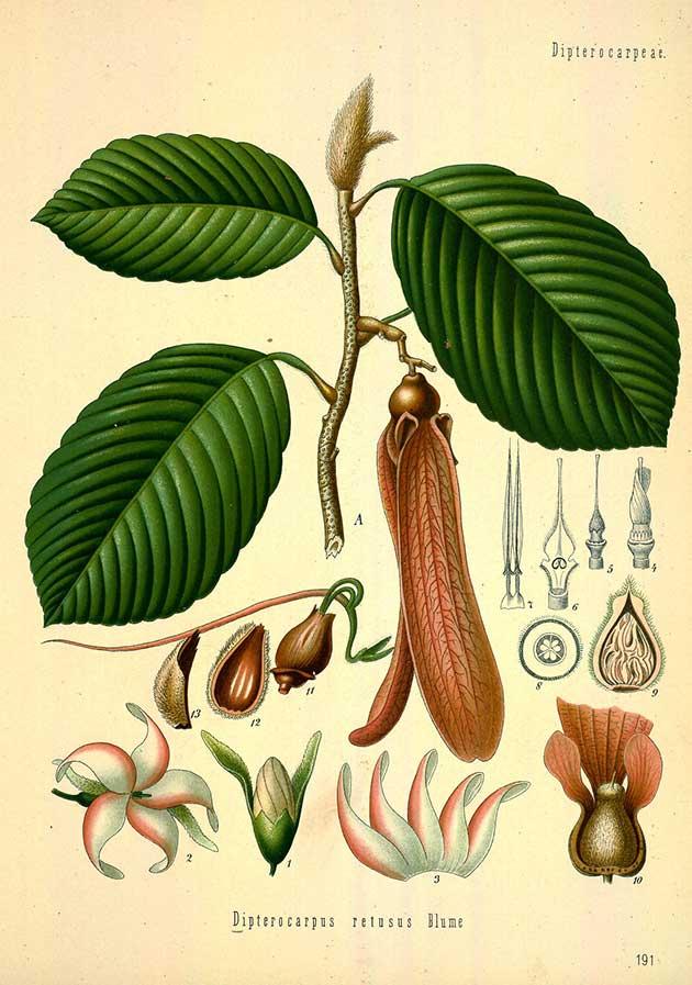 Dipterocarpus retusus