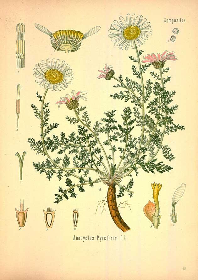 Free Medicinal plant illustrations