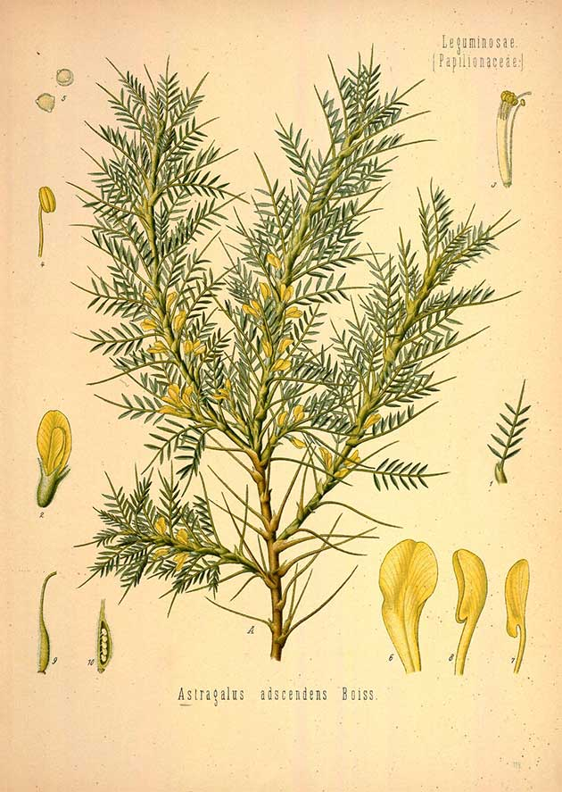 Astracantha adscendens