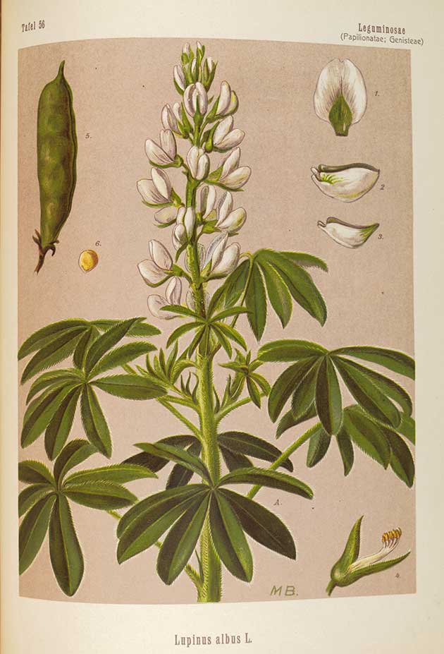 Medicinal Plant botanical illustrations