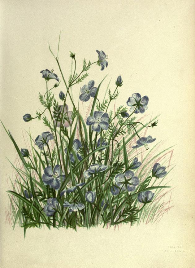 Pacific plant botanical illustrations