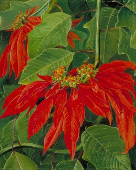 Poinsettia: A Mexican Plant