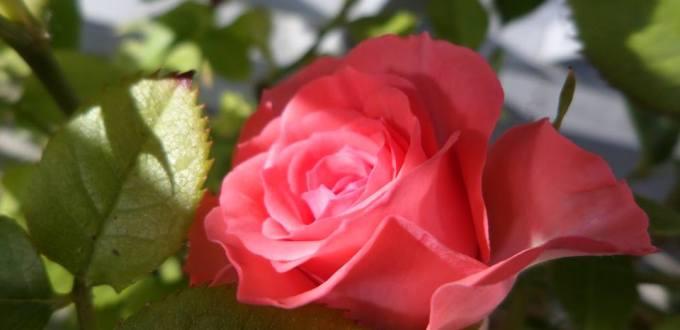 rose huile essentielle