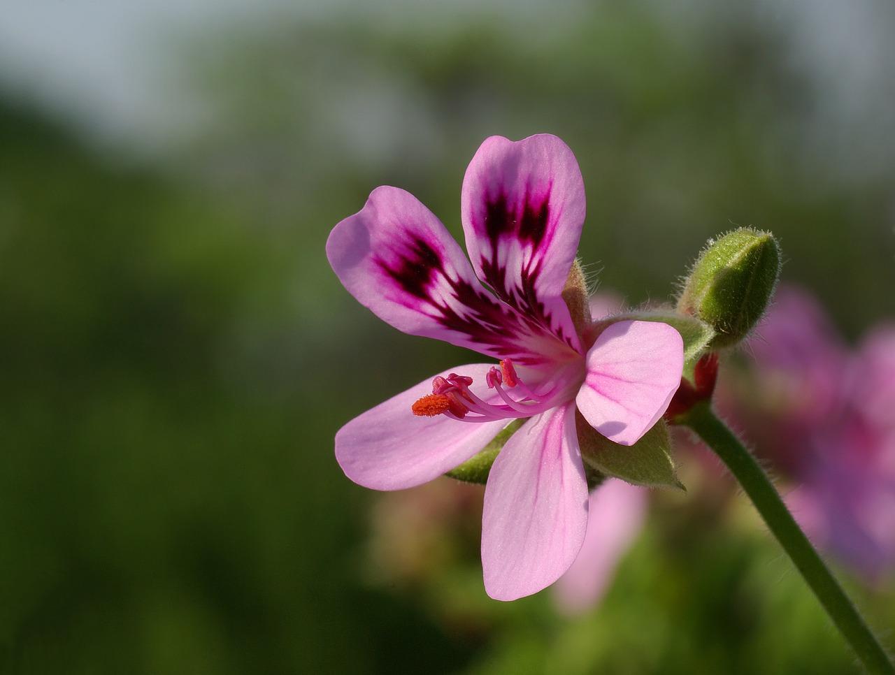 Géranium Bourbon: propriétés et utilisation sans danger (Pelargonium graveolens, asperum cv Bourbon)