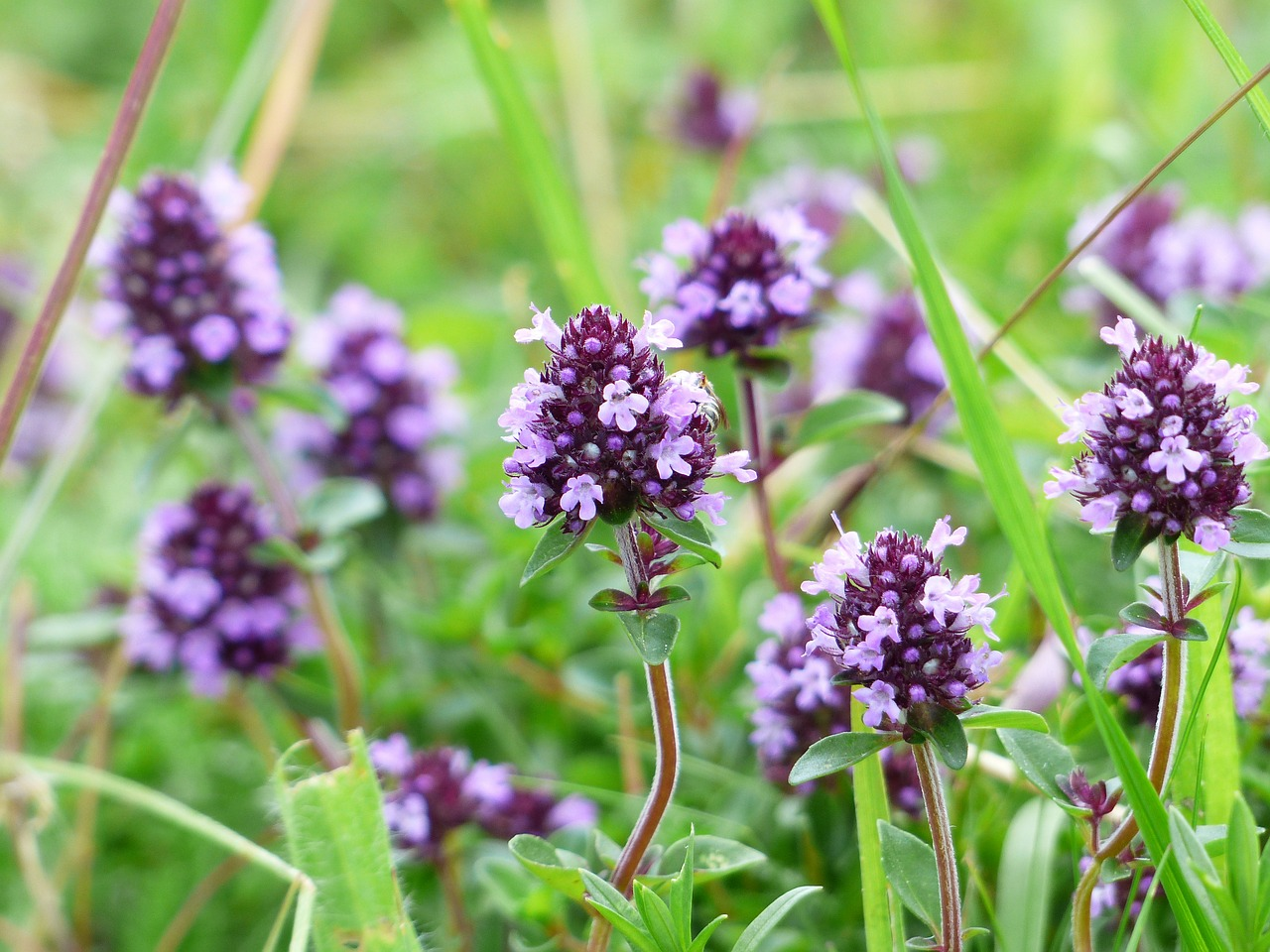 L'huile essentielle de thym vulgaire à linalol: propriétés et utilisation sans danger (Thymus vulgaris linaloliferum)