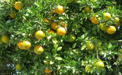 huile essentielle petit grain mandarine