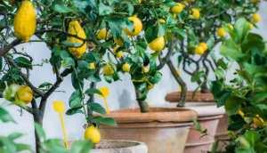 Overvintring af citrustræer