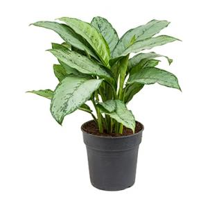 Aglaonema freedman S kamerplant