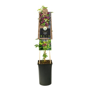 Akebia Quinata (Schijnaugurk plant) - P 16 cm