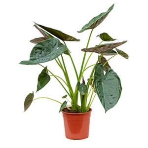 Alocasia wentii L kamerplant