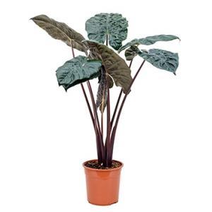 Alocasia yucatan princess kamerplant