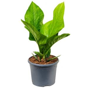 Anthurium jungle hybride kamerplant