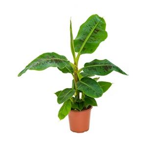 Bananenplant musa dwarf cavendish S kamerplant