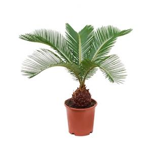 Cycas Palm revoluta brutalex kamerplant