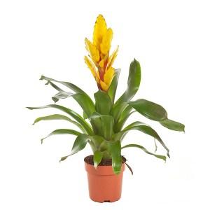 Fakkelbromelia (Vriesea Intenso Geel) P 12 cm