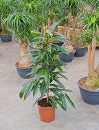 Ficus Amstel King 105 cm. (Kamerplant)