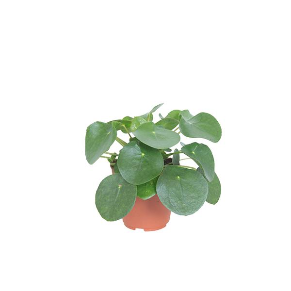 Mini Pilea Peperomioides (Pannenkoekplant) - P 6 cm