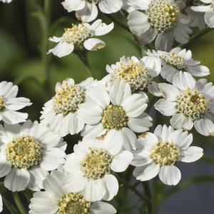 Wilde bertram (Achillea ptarmica) moerasplant - 6 stuks