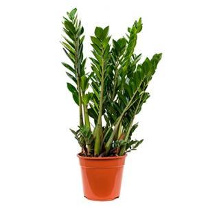 Zamioculcas zamiifolia M kamerplant