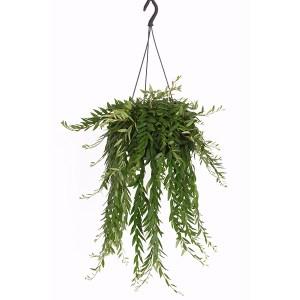 Aeschynanthus 'Japhrolepis' (hangplant) - P 15 cm