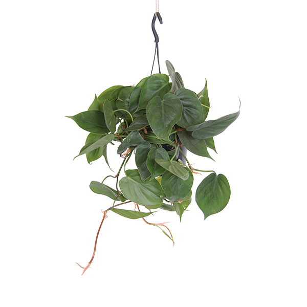 Philodendron Scandens - P 15 cm
