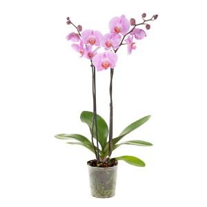 Roze Orchidee (Phalaenopsis 2 tak) - P 12 cm