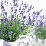 Lavendel angustifolia 'Ardèche'
