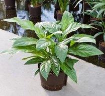 Anthurium Jungle bush (Hydroplant)