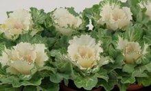 Sierkool Brassica glad wit