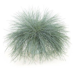 Festuca Intense Blue XL - P 23 cm